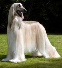 afgan-hound